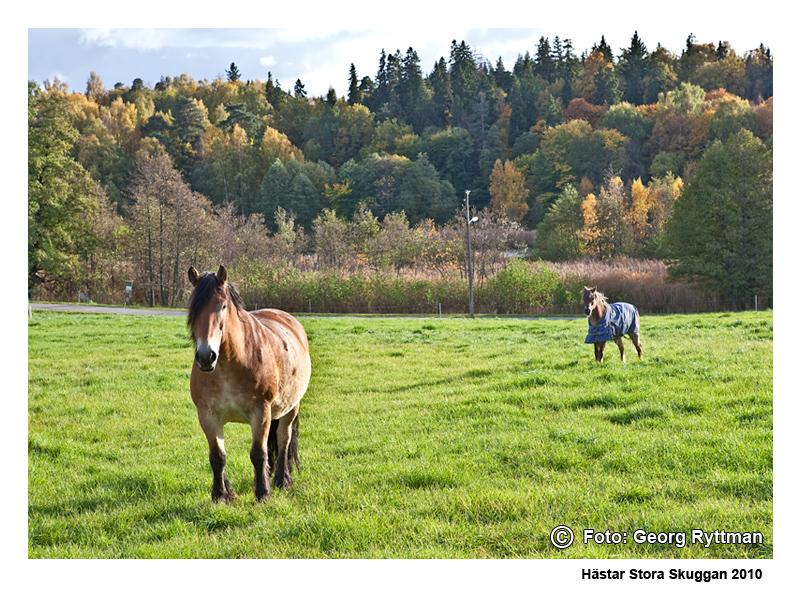 Hästar - Stora Skuggan