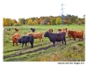 Highland Cattle - Stora Skuggan
