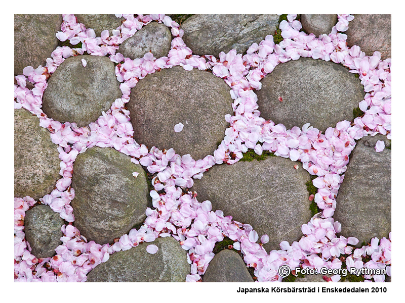 Japanska körsbärsträd i Enskededalen