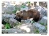 Skansen - Brunbjörnar